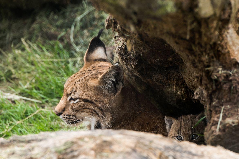 Lynx geboren in Dierenrijk