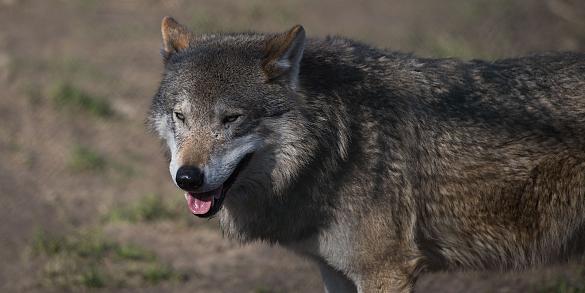 Wolf terug in Nederland